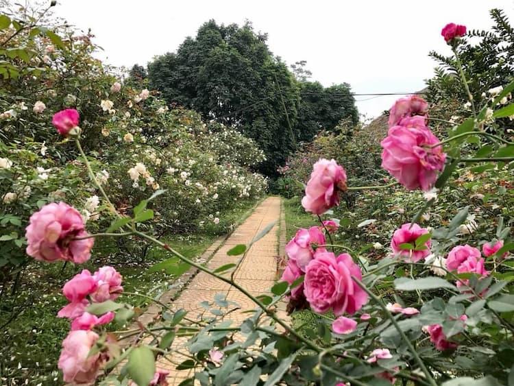 Vườn hoa hồng vài chục hecta của chị Hằng