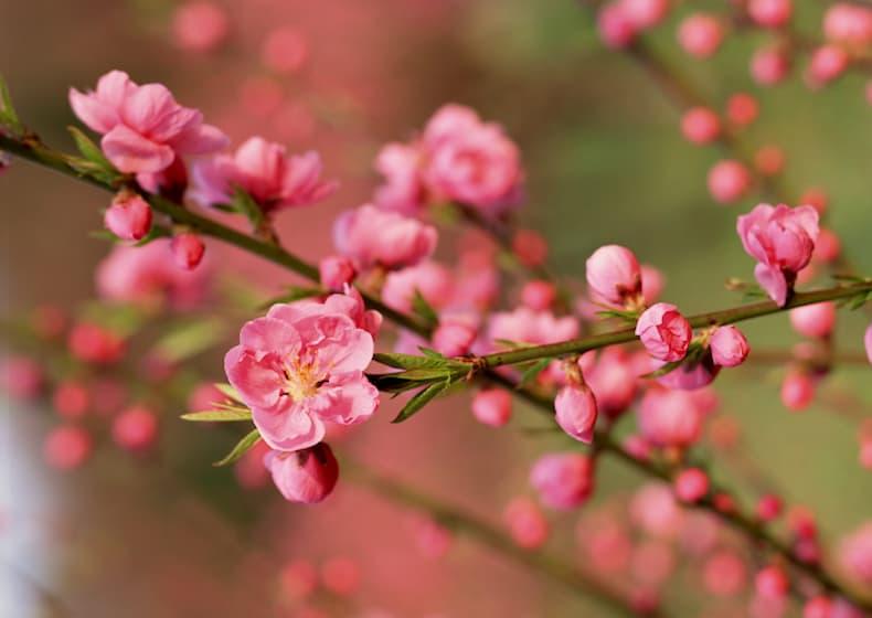 Hoa đào biểu tượng ngày tết miền Bắc