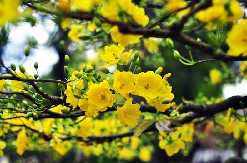 Hoa mai vàng biểu tượng tết miền Nam